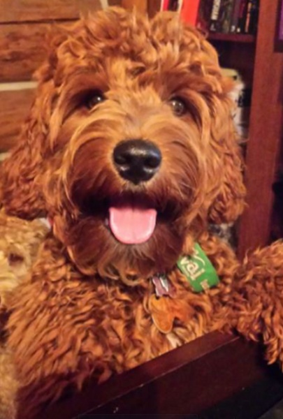 Racine Labradoodle Puppies for Sale | Burlington WI Breeder