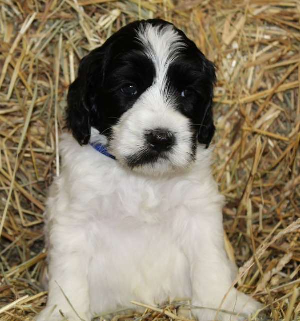 Bloomington Labradoodle Puppies Breeder Of Small Medium Mini And