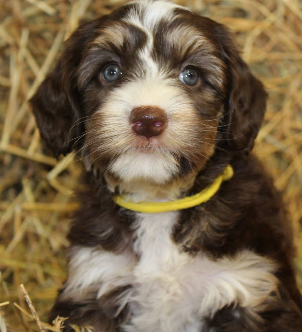 Burnsville Labradoodle Puppies Breeder Of Small Medium