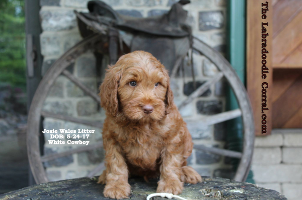 Davenport labradoodle puppies, breeder of small, medium