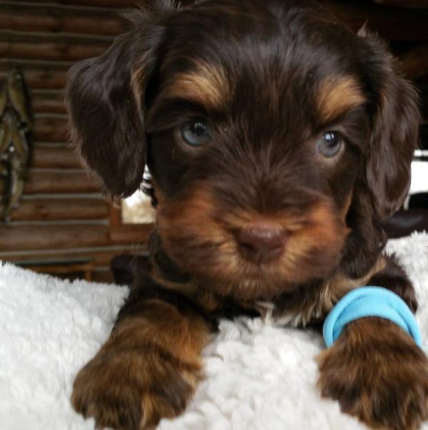 DeKalb labradoodle puppies, breeder of small, medium, mini
