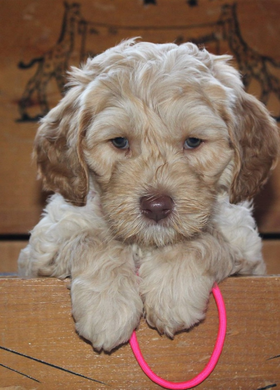 Des Moines Labradoodle Puppies Breeder Of Small Medium Mini And