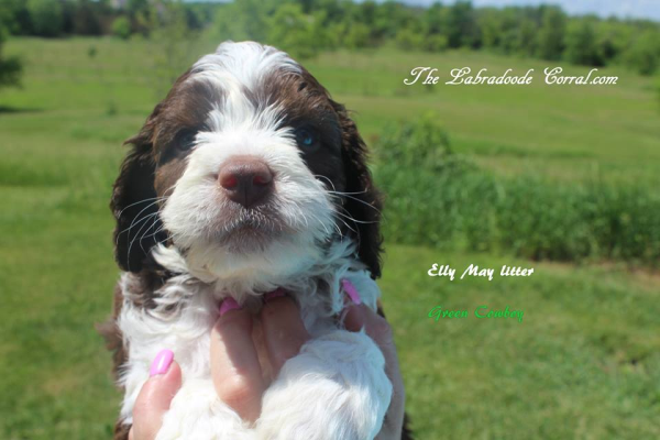 Fond du Lac labradoodle puppies, breeder of small, medium