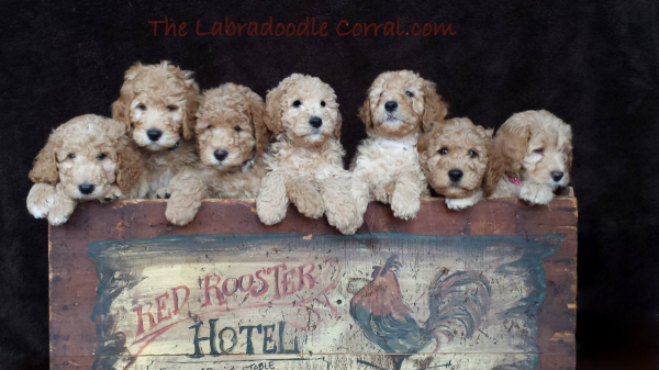 Indianapolis Labradoodle Puppies Breeder Of Small Medium Mini
