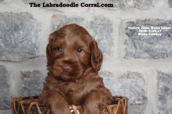 Iowa City labradoodle puppies, breeder of small, medium, mini, and