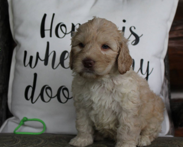 Minneapolis Mn Labradoodle Puppies Breeder Of Small
