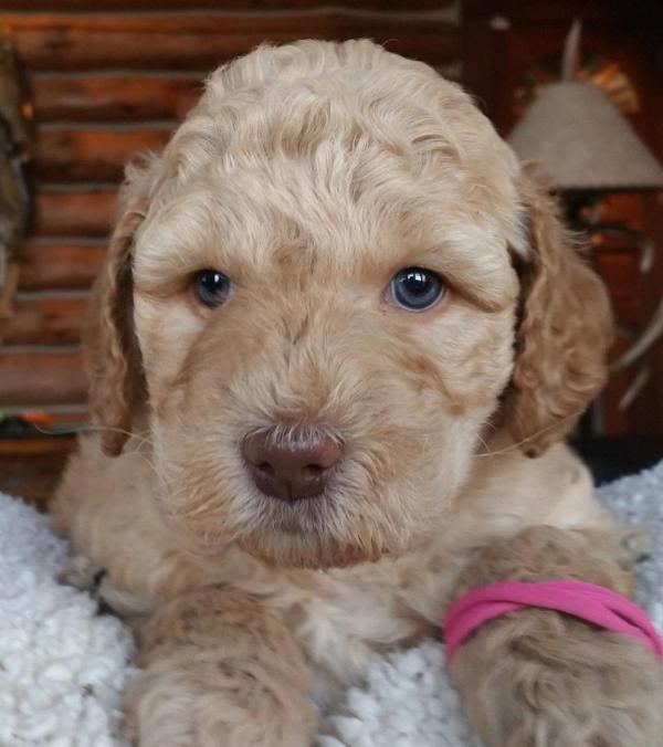 Indianapolis Labradoodle Puppies Breeder Of Small Medium