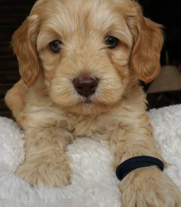 Rochester Labradoodle Puppies Breeder Of Small Medium