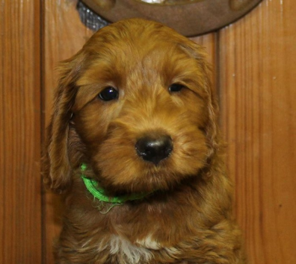 Waukegan labradoodle puppies, breeder of small, medium, mini