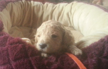 Australian Labradoodle Life Expectancy Puppies For Sale