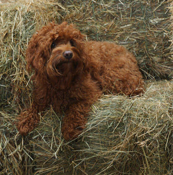 Australian Labradoodle Traits and Health Problems