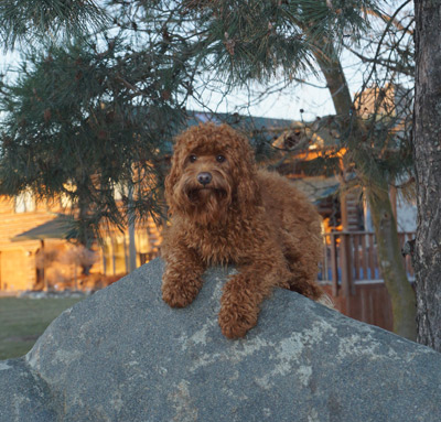 Australian labradoodle temperment and personalities