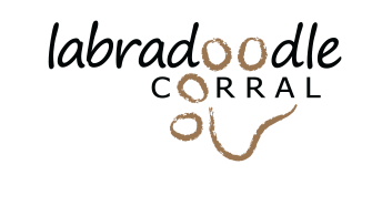Australian Labradoodle Midwest Breeder | Minnesota Iowa