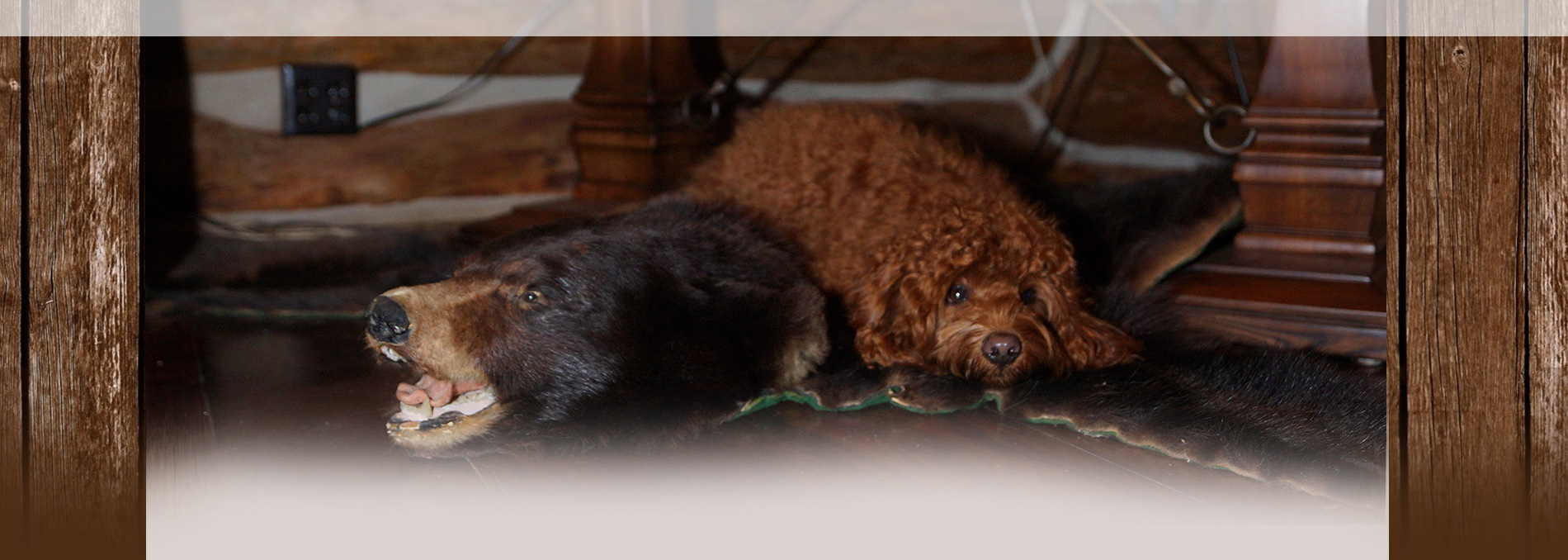 Madison Labradoodle Breeder Wisconsin Puppy Adoption